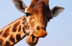 ¿Dónde usan corbata las jirafas, en la parte alta o baja del cuello? Nueva pregunta viral | Virales