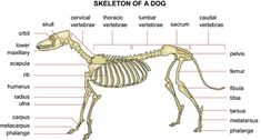 CANINE ANATOMY: Skeleton of a Dog - from Chinaroad Lowchens of Australia -