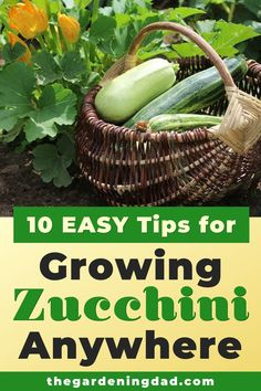 Do you want to grow zucchini, but didn't think it was possible where you live.  Read this article to learn 10 Easy Tips for Growing Zucchini Anywhere.  This is perfect for anyone who wants to grow zucchini indoors, in pots, or even in raised garden beds. #zucchini #gardening #vegetables Growing Vegetables At Home, Gardening Vegetables, Organic Gardening, Gardening Tips, Growing Zucchini, Modern Outdoor Living, Easy Garden, Garden Ideas, Family Meals