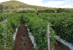 Vineyard, Plants, Outdoor, Grow Tomatoes, Mesh, Outdoors, Vine Yard, Vineyard Vines, Plant