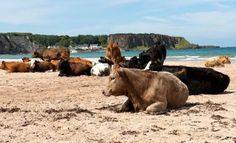 Haha..cows at the beach in Ireland