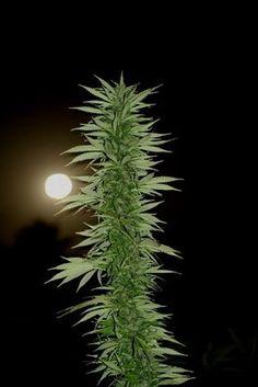 Que bella se ve la marihuana a la luz de la luna. http://greendragongrow.com/es/102-extraccion-de-polen