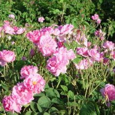 StillPointAromatics.com Organic Rose Damascena Otto Hydrosol #Organic #Rose #EssentialOil #Hydrosol #OrganicRose #RoseEssentialOil #RoseHydrosol #OrganicEssentialOil #OrganicHydrosol #Hydrolat #RoseWater #RoseHydrolat #OrganicHydrolat #RoseOtto #OrganicRoseOtto #RoseDistillate #OrganicDistillate #Distillate #RosaAlba #RosaDamascena