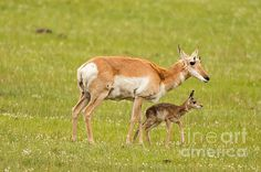 We missed the birth of this pronghorn antelope calf in Yellowstone National Park in by minutes. These pronghorn are seen in Montana and Wyoming all along the prairie.