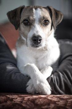 Jack Russell Puppies Arthur - the cooool Jack Russel Terrier Dog Jack Russell Terriers, Chien Jack Russel, Jack Russell Dogs, Pitbull Terrier, Terrier Mix, Rat Terriers, Terrier Dogs, I Love Dogs, Cute Dogs