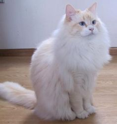 Raggs, 1 year old flame point ragdoll, companion of Carol King