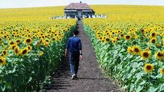"""Everything is Illuminated"" 2005 Awesome Sunflower field scene Arizona Wildflowers, Netflix, Film Distribution, Jonathan Safran Foer, Everything Is Illuminated, Love Is Everything, Liev Schreiber, Sunflower Fields, Sunflower Flower"