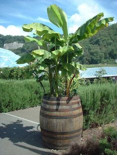 Everethyng that You Should Know About Wooden Barrel Planter : Wooden Barrel Planter Tubs. Fruit Garden, Tropical Garden, Garden Water, Wine Barrel Planter, Tree Planters, Backyard Landscaping, Backyard Ideas, Garden Ideas, Outdoor Ideas