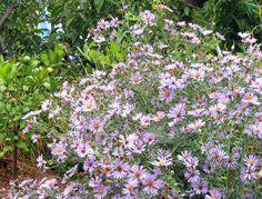 Aster chilensis 'Purple Haze'
