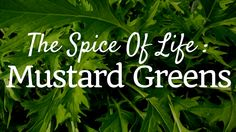 Learn to grow mustard greens in this fun article- The Spice of Life: Mustard Greens