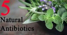 """5 Powerful Natural Antibiotics - Hospital antibiotics have become one of the most over prescribed """"medicines"""" today. As a result people have ruined their digestive systems, and ironically, have lowered their natural immunity to all types of infections in the future. Get rid of infections without the digestive destruction, with these five powerful natural antibiotics."""