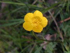 Botão de ouro (Ranunculus repens)