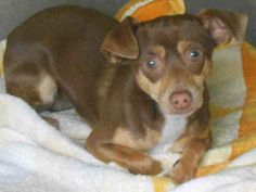 URGENT - SET FOR EUTHANASIA! Share for immediate Rescue! Needs pledges and foster! Orange County Shelter, CA  A1290384 M 2 Years BROWN TAN CHIHUAHUA SH 11/28/2013 OC ANIMAL CARE, 561 The City Drive South, Orange, CA 92868, 714-935-6848
