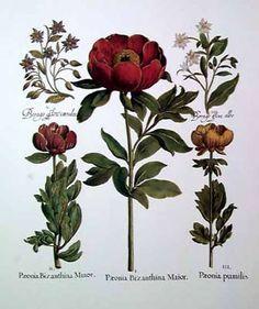 Basil Besler: Hortus Eystettensis, 1613 (Sid Dickens Memory Block T-51)