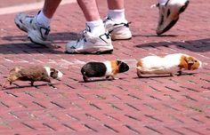 Three little Guinea pigs escape their owner and make a bolt for freedom in Central Park, New York City, before being found and placed back in their little plastic house