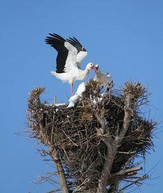 Storks, Bald Eagle, Birds, Animales, Blue Prints, Stork, Cute Animals, Bird
