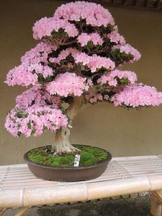 Watering your bonsai correctly is the most essential skill to master to guarantee a nutritious plant. In the event the Bonsai dies it can be quite a traumatic experience that could be likened to having your family dog die. Ikebana, Plantas Bonsai, Bonsai Garden, Garden Plants, Orchids Garden, Air Plants, Cactus Plants, Bonsai For Beginners, Miniature Trees