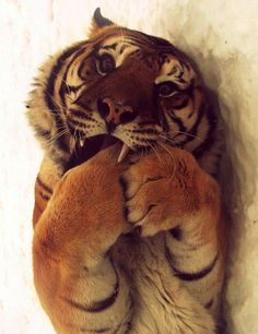 Richard parker on pinterest life of pi tigers and the for Who is richard parker