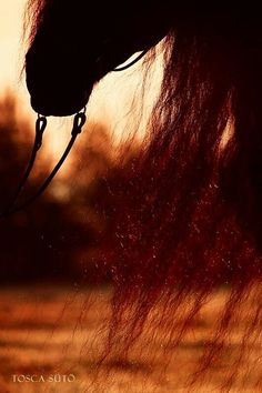 Friesian Mane in the evening