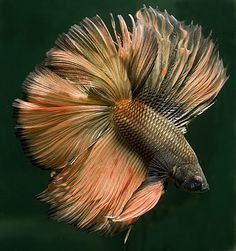 Copper doubletail