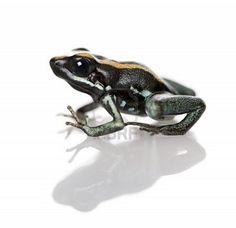 Golfodulcean Poison Dart Frog