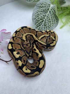 Co-Dominant Ball Python Morphs - A 2 Z Reptiles - Look at some snakes! Ball Python Morphs, Disco Ball, Black Magic, Back To Black, Goblin, Snakes, Reptiles, Artwork, Animals
