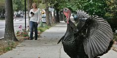 The Weirdest Incidents Involving Wild Turkeys This Week