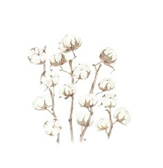 #dry flower #cotton plant #design #illustration #drawing #hand drawing #water color #color pencil