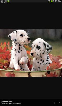 Two beautiful Dalmatians