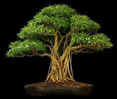 """There are no borders in bonsai. The dove of peace flies to palace as to humble house, to young as to old, to rich and poor. So does the spirit of bonsai."" ~ John Yoshio Naka"