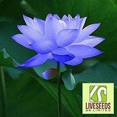 Liveseeds - Ciotola di loto / acqua giglio di fiori di semi / bonsai semi di loto / Sapphire Lotus / 5 semi freschi