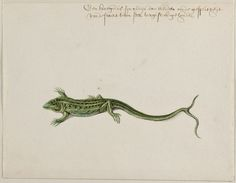 Lizard, Frans Post (1612–1680), watercolor and gouache, with pen and black ink, over graphite, c. 1638–44. Noord-Hollands Archief, Haarlem, inv.nr. 53004671
