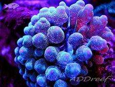 Актиния пузырчатая - Entacmaea Quadricolor