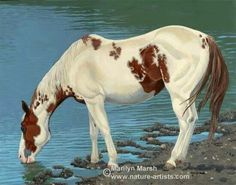 A Wild Sorrel Paint Mustang Quenching His Thirst.