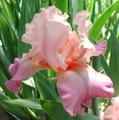 TB Iris germanica 'Alpine Twilight' (Durrance, 1996)
