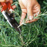 No fail cutings : African violet (Saintpaulia) Coleus (Solenostemon) Geranium (Pelargonium) Impatiens Philodendron