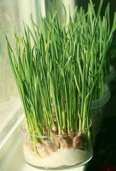 High Desert Garden: Garlic Shoots