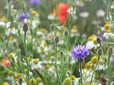 Insel Rügen Feldblumen