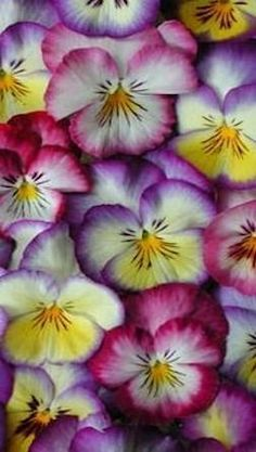 Intensely bright pansies
