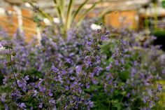 Nepeta 'Six hills Giant' - Catmint. A vigorous perennial with aromatic light grey-green leaves and abundant lavender blue flower spikes. H 90cm S 60cm. Flowers June-Aug. Full sun/partial shade. Hardy. Water thoroughly before planting. www.thepavilion.ie