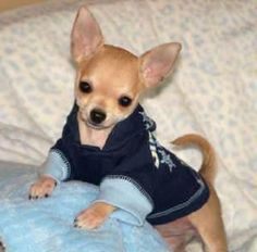 sweet Chihuahua in a blue outfit. Cute Baby Animals, Animals And Pets, Funny Animals, Cute Puppies, Cute Dogs, Dogs And Puppies, Doggies, Beautiful Dogs, Animals Beautiful