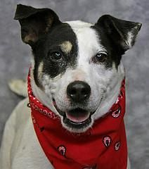 Hi I'm Chopper and I'm one of the many adoptable dogs at the Kentucky Humane Society. Click on my picture to see if I'm still available.