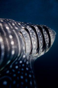 Whale shark gills (Photo by gabriela.meier)