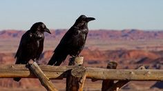Ravens Are So Smart, One Hacked This Researcher's Experiment : likeus
