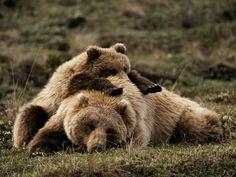 Osos Grizzly  pFotografía de Michael S. Quinto/p
