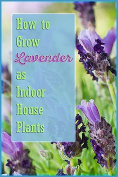 Lavender house plants are lovely to have around and provide great smell to its surrounding. -- More details can be found by clicking on the image.