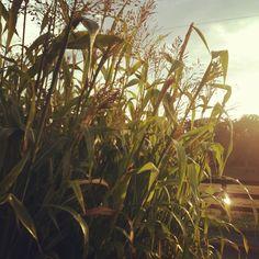 Broomcorn at sunrise, LynnVale Farm