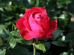 red eden rose | Strauchrose 'Red Eden Rose' ® - Rosa 'Red Eden Rose' ® - Baumschule ...