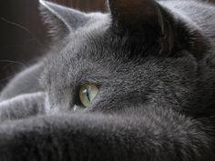 Russian Blue Cats Kittens soft light/ Blue Russian/ close up/ photography - Was put in the Bryan Art Walk Grey Cats, White Cats, Blue Cats, Russian Blue Kitten, Russian Cat, Cute Cats And Kittens, Kittens Cutest, Cat Shots, Nebelung