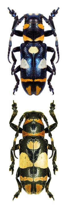 Callimetopus tagalus
